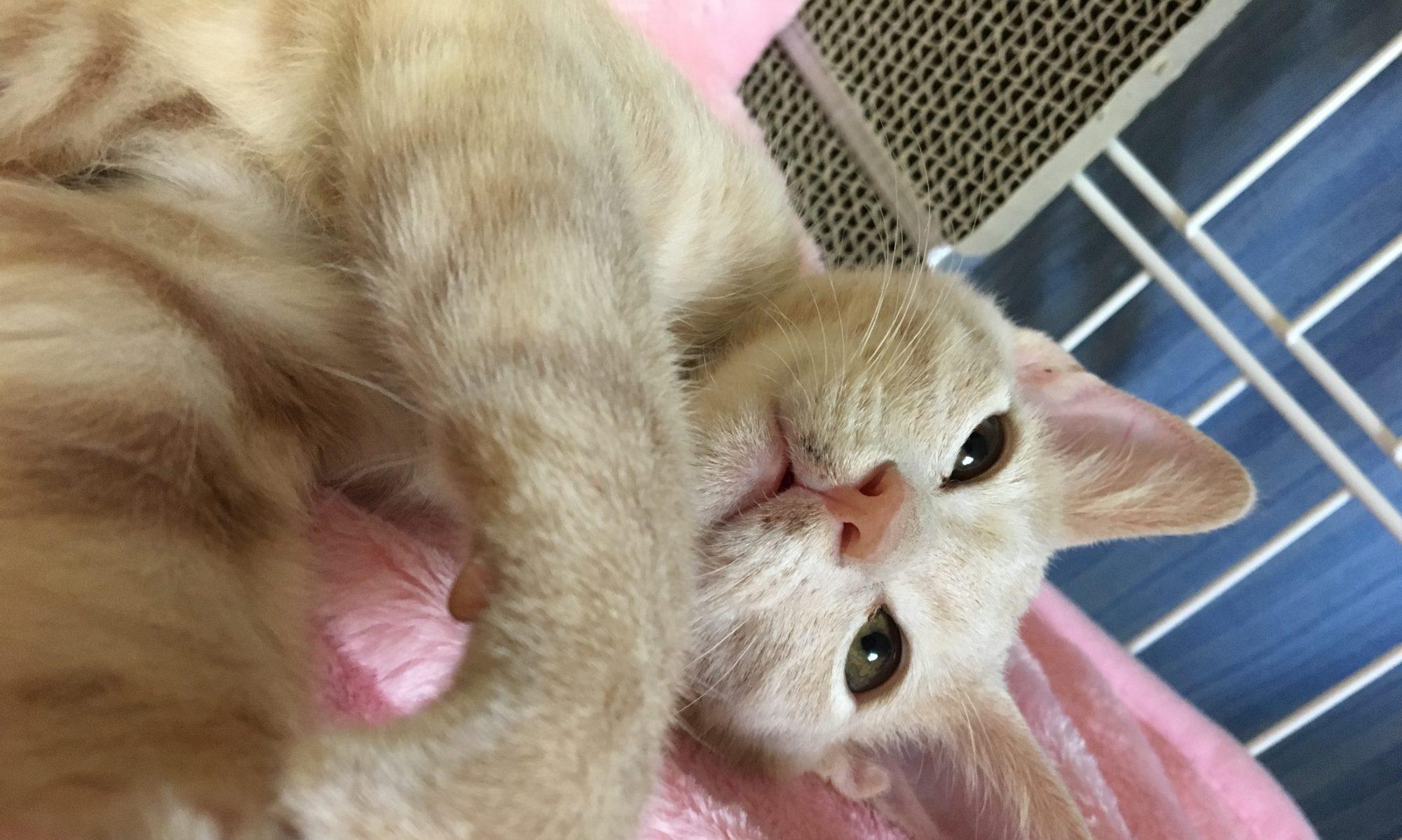 子猫のクレオ にゃん吉 日記